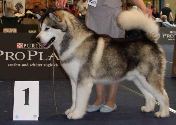 many multi champions alaskan malamute uses md10 herbal texture shampoo