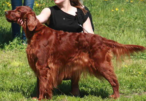 http://www.md10.eu/Blogs/Best_Dog_Shampoo_for_Irish_Setter.jpeg