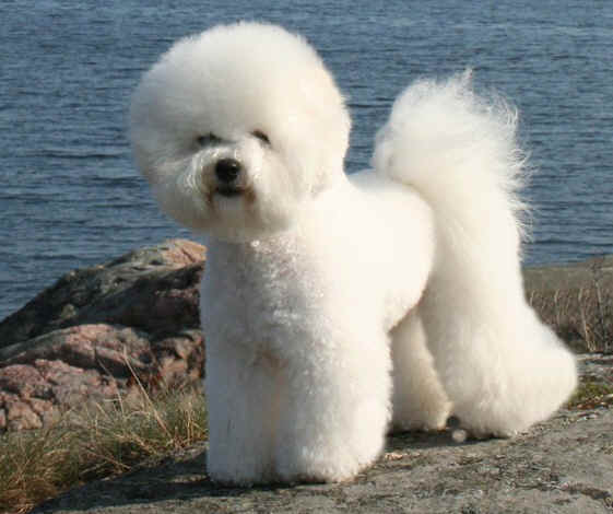Best Dog Shampoo for White Texture Dog, Bichon Frise