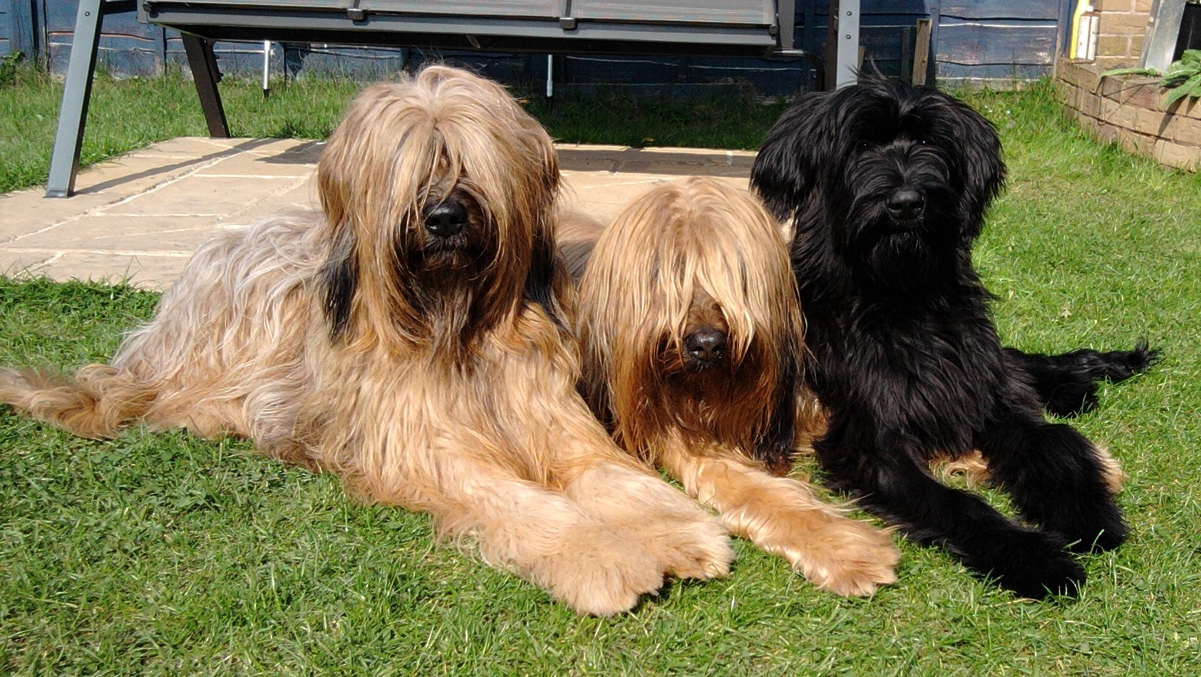 Best Dog Shampoo for Briard, Show Dog Shampoo, Crufts Shgampoo