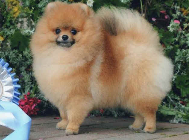 Best shampoo for Pomeranian Scotland