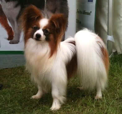 Best Dog Shampoo for Papillon